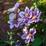 Mooie donkerroze, Purpere bloemclematissen in tuin royalty-vrije stock afbeelding