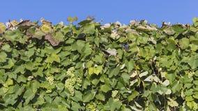 Mooie druiven tegen de hemel Stock Afbeeldingen