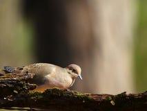 Mooie duif Stock Fotografie