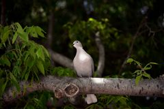Mooie duif die in een tak met een zonnestraal rusten die door de bomen gaan stock foto