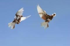 Mooie duif tijdens de vlucht Royalty-vrije Stock Afbeelding