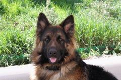 Mooie Duitse herder Royalty-vrije Stock Foto