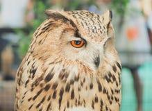 Mooie Eagle - Owl Bubo-bubo royalty-vrije stock afbeeldingen