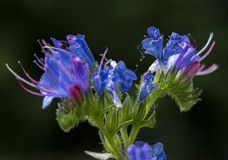 Mooie Echium die vulgare op de zomergebied tot bloei komen Ondiepe diepte van gebied Blauwe bloemen die in de zomer bloeien stock foto's