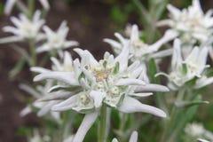 Mooie edelweissbloem Stock Foto's