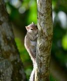 Mooie Eekhoorn in Sri Lanka royalty-vrije stock foto
