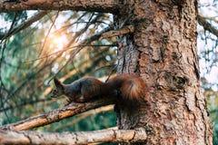 mooie eekhoornzitting op boom in bos stock foto