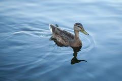 Mooie eend in koud water Stock Foto