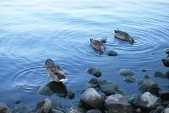 Mooie eend in koud water Royalty-vrije Stock Afbeeldingen
