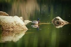 Mooie eend op het meer Stock Foto's