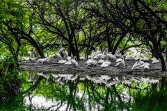 Mooie eenden die onder de boom rusten Royalty-vrije Stock Fotografie