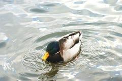Mooie eenden in koud water 7 Royalty-vrije Stock Afbeelding