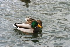 Mooie eenden in koud water 26 Royalty-vrije Stock Afbeeldingen