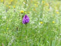 Mooie eenzame piramidale orchidee in de zomer wildflower weide stock fotografie