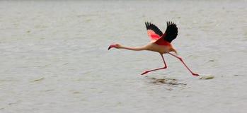 Mooie eenzame roze flamingovliegen over het overzees stock foto