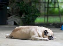Mooie eenzame witte vette leuke pug hondportretten stock afbeelding
