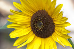 Mooie Eenzame Zonnebloem met Witte Achtergrond stock afbeelding
