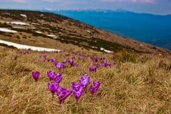 mooie eerste de lentebloemen Mening van close-up bloeiende violette krokussen in de bergen Stock Afbeelding