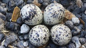 Mooie eieren van RODE WATTLED-KIEVIT royalty-vrije stock foto's