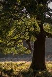 Mooie eikel eiken boom in boslandschap Stock Afbeelding