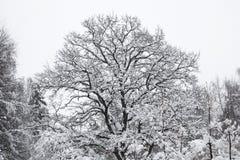 Mooie eiken die boom met sneeuw wordt behandeld Bevroren bos Stock Afbeeldingen