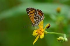 Mooie Elada Checkerspot Butterflyon een bloem royalty-vrije stock foto