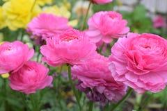 Mooie en charmante groep roze rozen Royalty-vrije Stock Foto