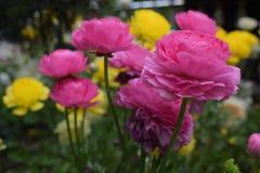 Mooie en charmante groep roze rozen Royalty-vrije Stock Foto's