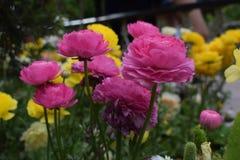 Mooie en charmante groep roze rozen Royalty-vrije Stock Afbeeldingen