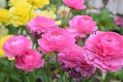 Mooie en charmante groep roze rozen Stock Afbeeldingen