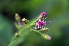 Mooie en extravagante micro- roze bloem stock afbeeldingen