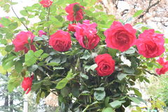 Mooie en kalme rode rozen Royalty-vrije Stock Fotografie