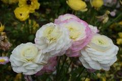Mooie en kalme witte rozen Stock Fotografie