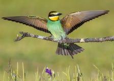 Mooie en kleurrijke Europese bij-eter Merops apiaster van gebied Castilla La Mancha in Spanje stock afbeelding