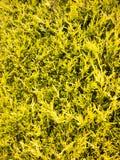 Mooie en kleurrijke gele boom buiten in tuin Royalty-vrije Stock Foto