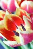 Mooie en kleurrijke tulpenbloemblaadjes met dalingen op hen Stock Foto