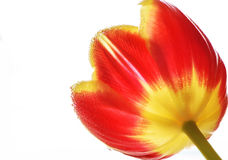 Mooie en kleurrijke tulpenbloemblaadjes met dalingen op hen Royalty-vrije Stock Afbeelding