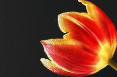 Mooie en kleurrijke tulpenbloemblaadjes met dalingen op hen Royalty-vrije Stock Foto's