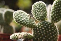 Mooie en kleurrijke Vijgencactus Microdasys in de tuin royalty-vrije stock fotografie
