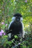 Mooie en ongebruikelijke slimme aap Colobus in Kenia afrika stock afbeeldingen