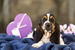 Mooie en zachte puppybasset hond met droevige ogen die zitten royalty-vrije stock afbeelding