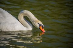 Mooie en zwaan die zwemmen drinken Sluit omhoog royalty-vrije stock fotografie