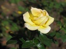 Mooie enige geel nam toe Royalty-vrije Stock Foto's