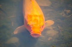 Mooie enige Oranje buitensporige karpervissen in ondiep watervijver royalty-vrije stock afbeeldingen