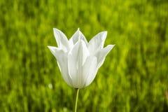 Witte tulp Royalty-vrije Stock Afbeeldingen