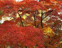 Mooie Esdoornboom in de Herfst stock foto