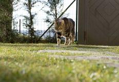 Mooie Europese kattenbewegingen in de tuin Stock Foto's
