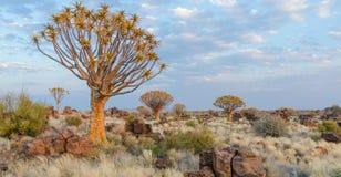 Mooie exotische quiver boom in rotsachtig en dor Namibian landschap, Namibië, Zuid-Afrika royalty-vrije stock foto's