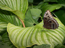 Mooie exotische vlinder Royalty-vrije Stock Afbeelding
