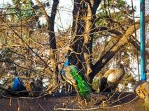 Mooie fazant in hout Stock Afbeeldingen
